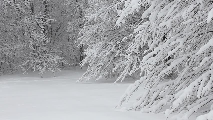 Trees in the snow in the forest in winter