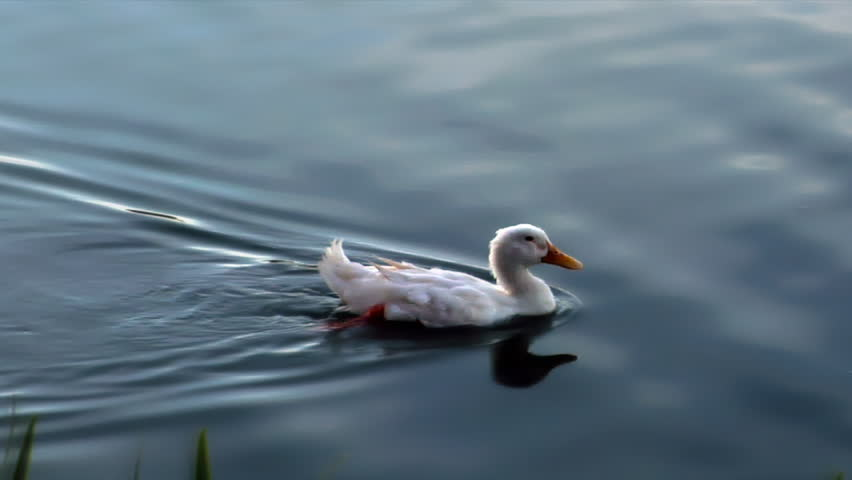 An HD clip of a white duck swimming across glassy water.  - HD stock video clip