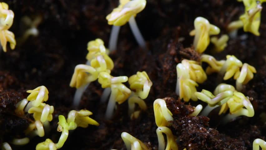 Growing seed of salad timelapse