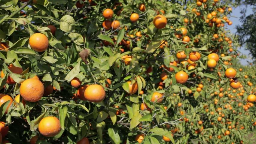 Portugal citrus