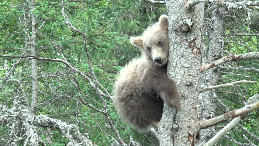 Header of Alaskan Brown Bear