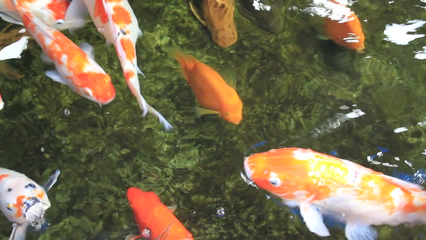 301 moved permanently for Koi fish to pond ratio