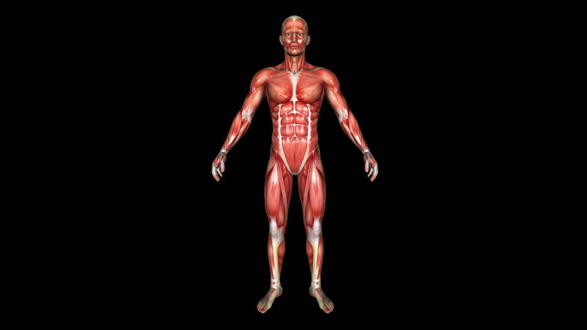 The Human Normal Body Muscle Animation. Loop. Alpha Matte - HD stock video clip