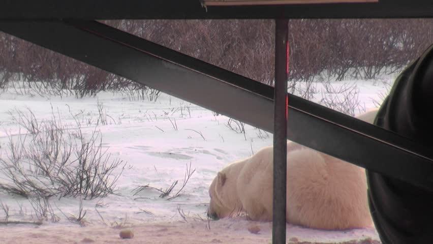 Wild polar bear mom teaches cub to dry his coat