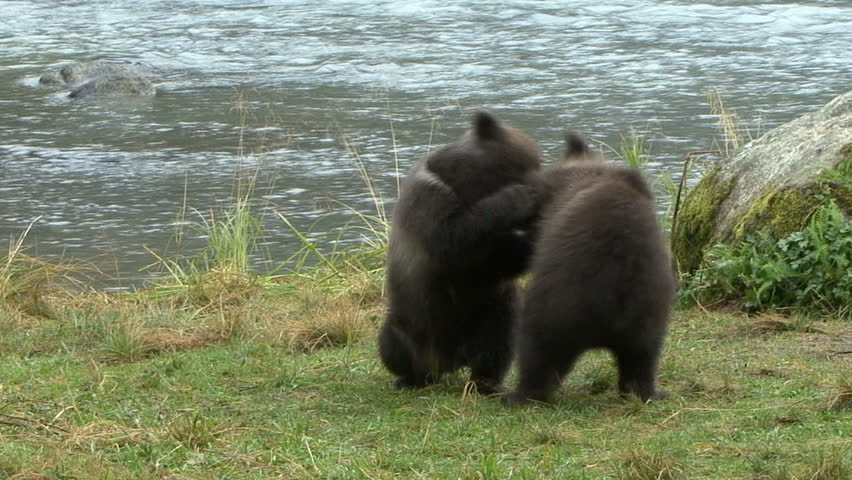 Brown Bear cubs play rough and wrestle at scenic Haines, Alaska.