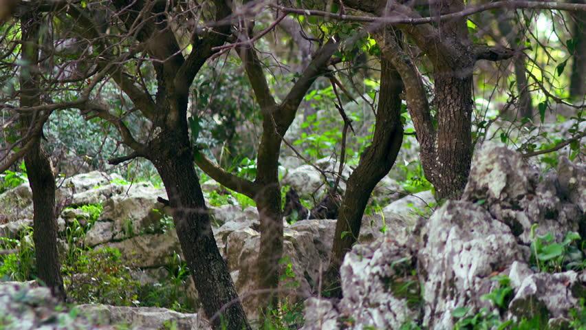 Rocky Carmel forest floor shot in Israel. - HD stock video clip