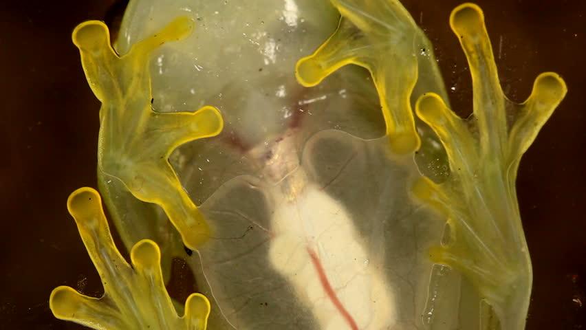 Glass Frog (Hyalinobatrachium sp.). Internal organs are visible. - HD stock video clip