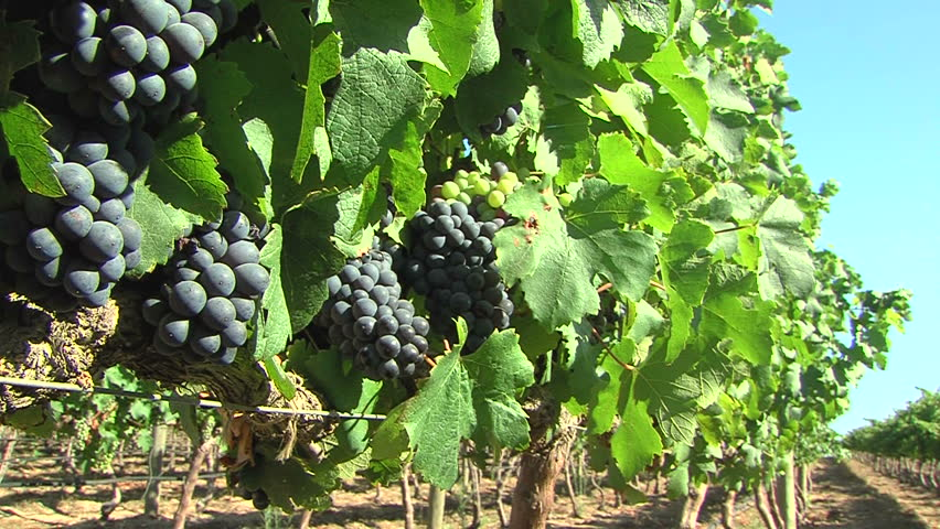 red grapes on the vine - HD stock video clip