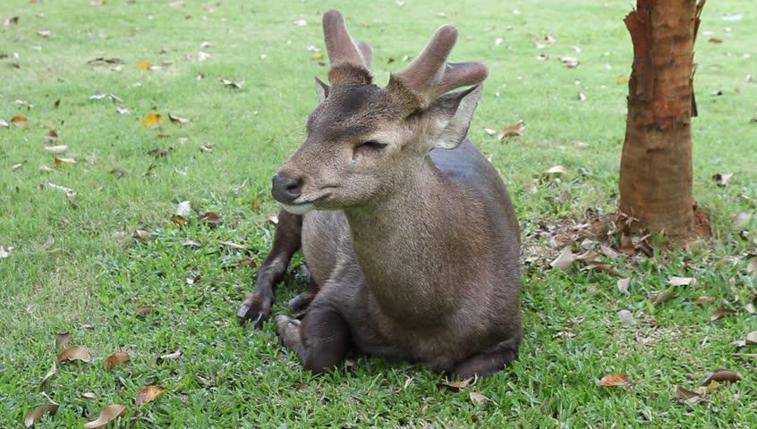 A Forest Wallaby Female Dendrolagus Bennettianus
