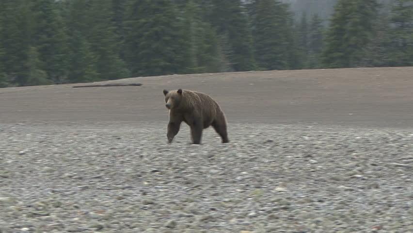 A Brown Bear lopes down the Cook Inlet beach at Lake Clark, Alaska.