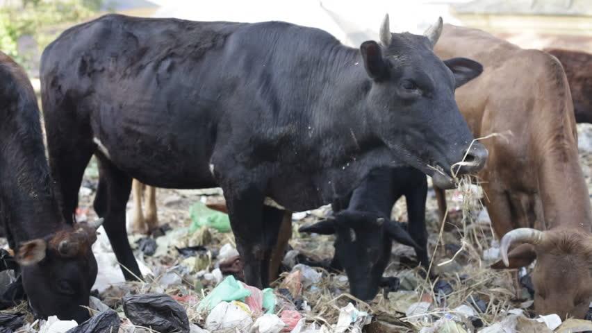 Cows eat Rubbish. - HD stock video clip