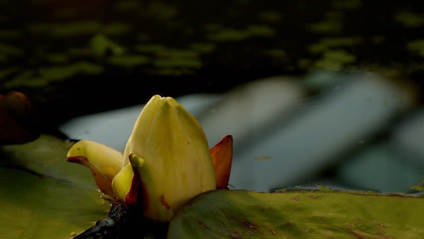 Time lapse opening of water lily flower  - HD stock video clip