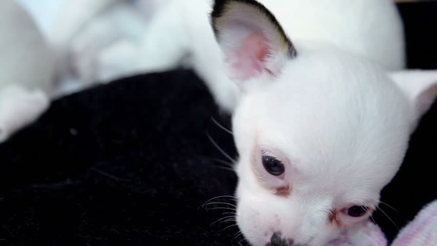 Little white dogs of chihuahua breed lais near, one blinks its eyes, closeup view - HD stock video clip