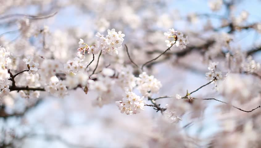 Blooming white and purple Japanese Sakura cherry blossoms in shallow depth of field against a blue sky - HD stock footage clip
