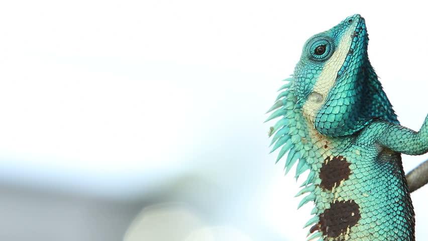 Beautiful tree lizard - HD stock footage clip