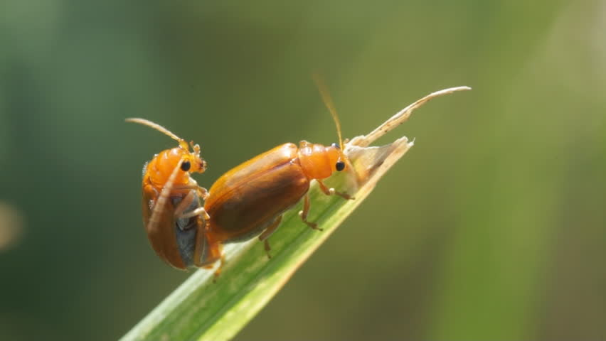 bugs mate on leaf - HD stock footage clip