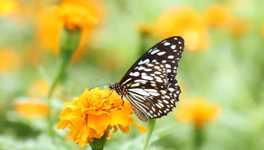 Black butterfly with flowers and with green leaves. - HD stock footage clip
