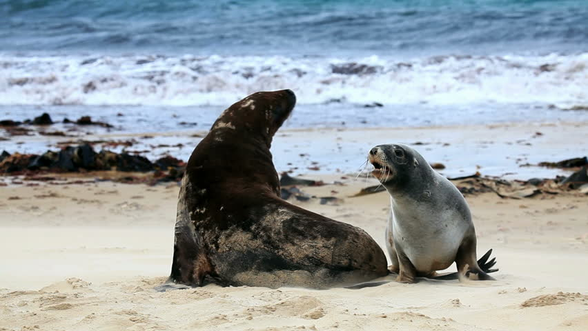 Sea lions mating - photo#20