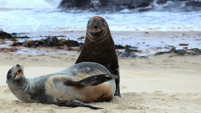 Sea lions mating - photo#16