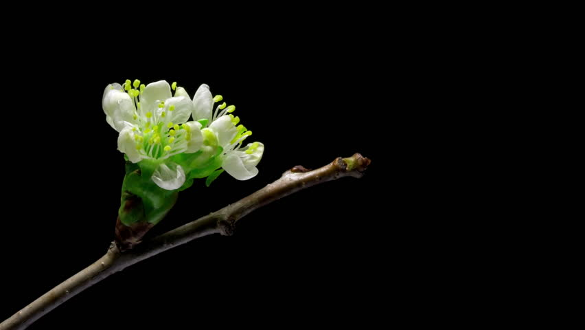 Cherry flowers blossom bud growing isolated on black background.
