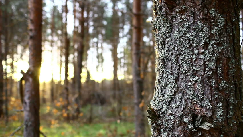 Pine tree with bough close up in forest