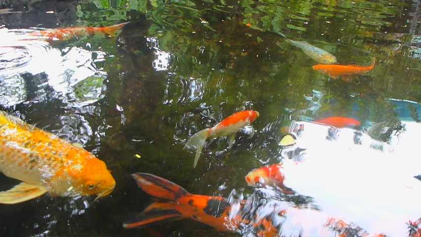 Tranquil koi fish pond with water reflection 1080p panning for Koi fish to pond ratio