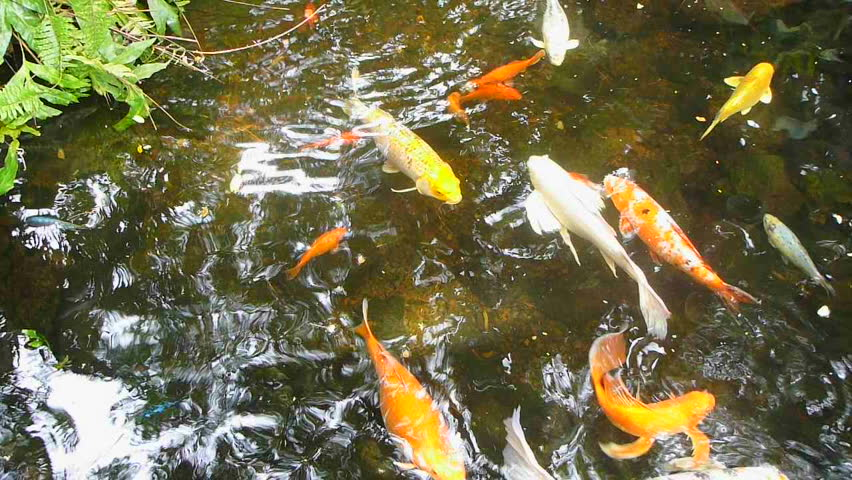 A group of large koi fish swimming in hawaiian pond stock for Koi fish to pond ratio
