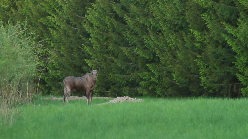 Moose looking in to the camera an then runs away - HD stock video clip