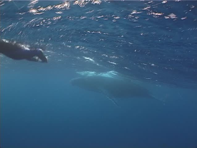 Humpback whale (Megaptera novaeangliae) underwater in Tonga - SD stock footage clip