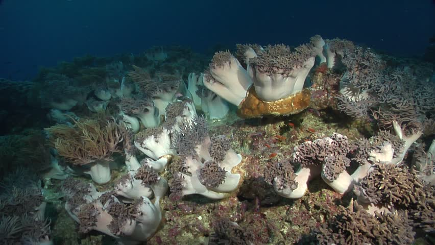 Slimy leather coral (Sinularia flexibilis) at rest underwater in Fiji Islands - HD stock footage clip