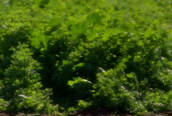 Alfalfa growing in the field