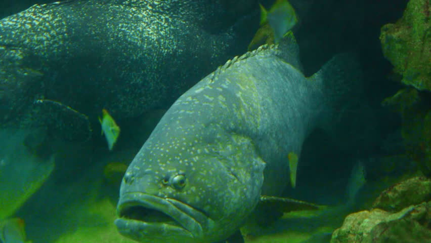giant grouper - HD stock footage clip