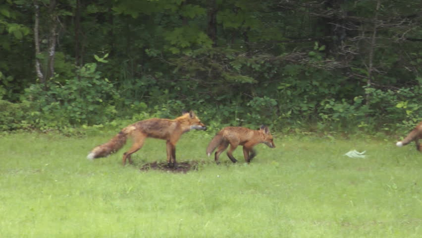 Family Of Red Foxes (Vulpes vulpes), A Mother Vixen And Her Kits Playing In The Wild practice hunting techniques through play.
