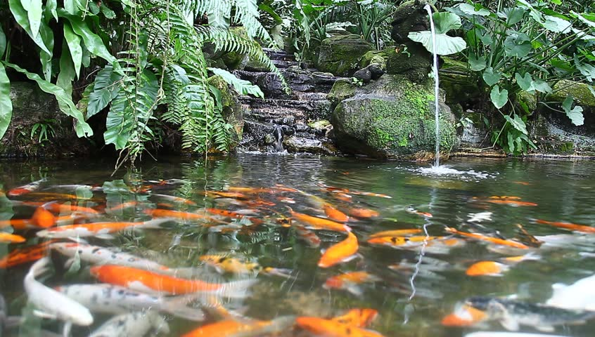 Koi fish ponds stock footage video 1906396 shutterstock for Koi pond maker