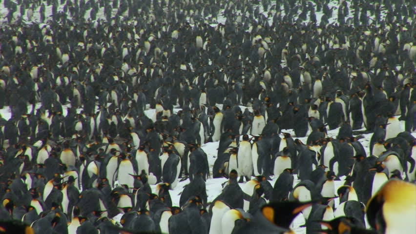 South Georgia and the South Sandwich Islands: group of penguins walking in a river