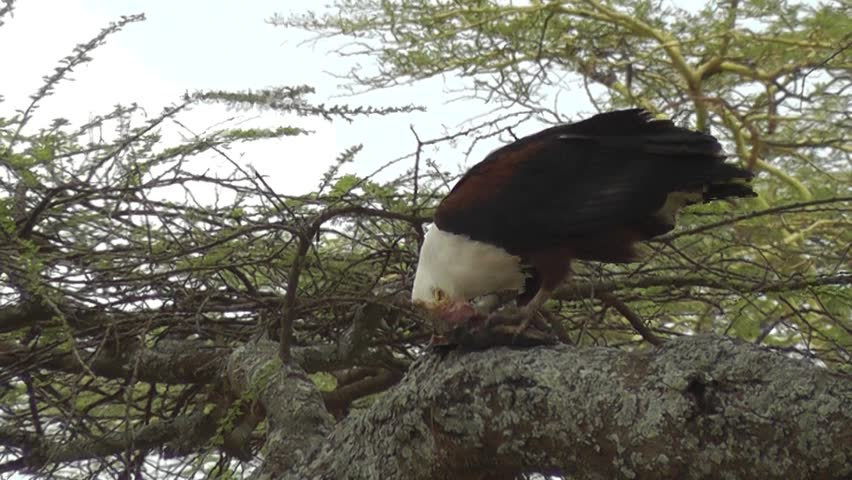 Header of African fish eagle
