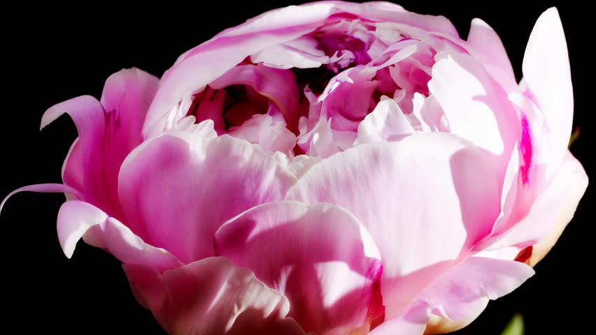 Timelapse of peony flowering  | Shutterstock HD Video #2430962