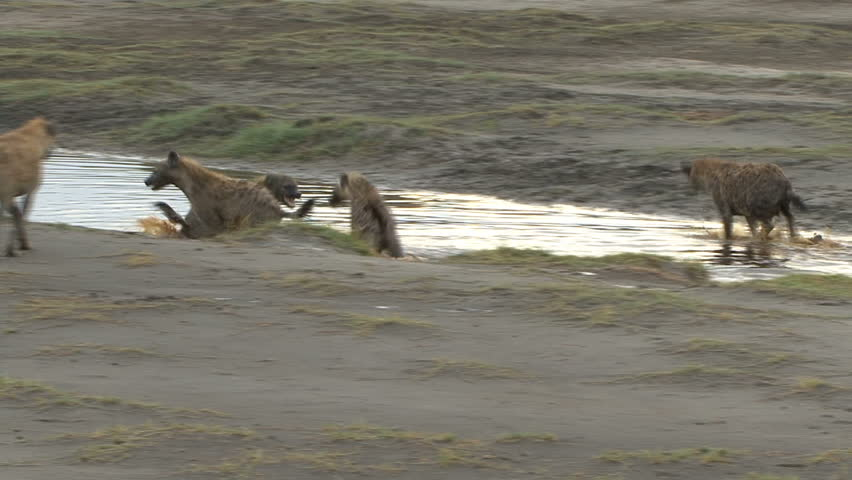A Hyena Pack runs and plays in water after a recent rain in Tanzania, Africa.
