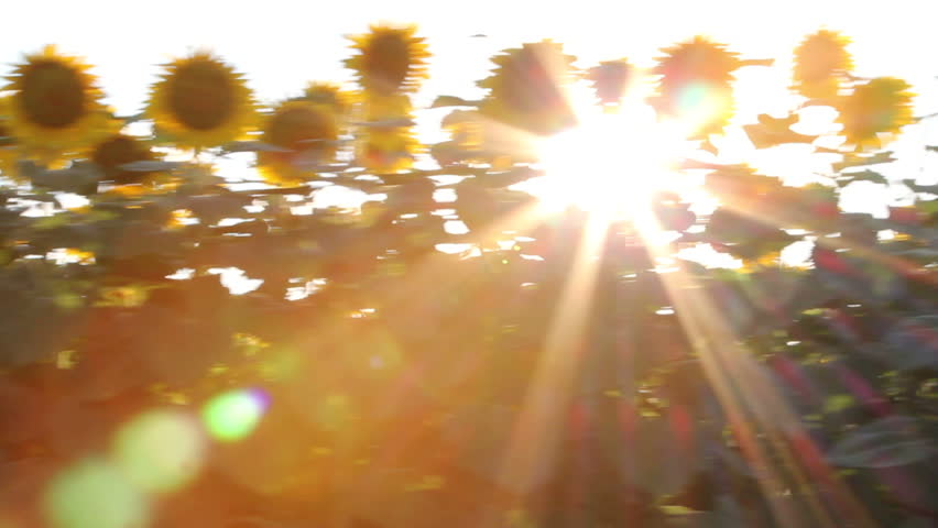 Sunflower in motion. Steady footage shot from the car