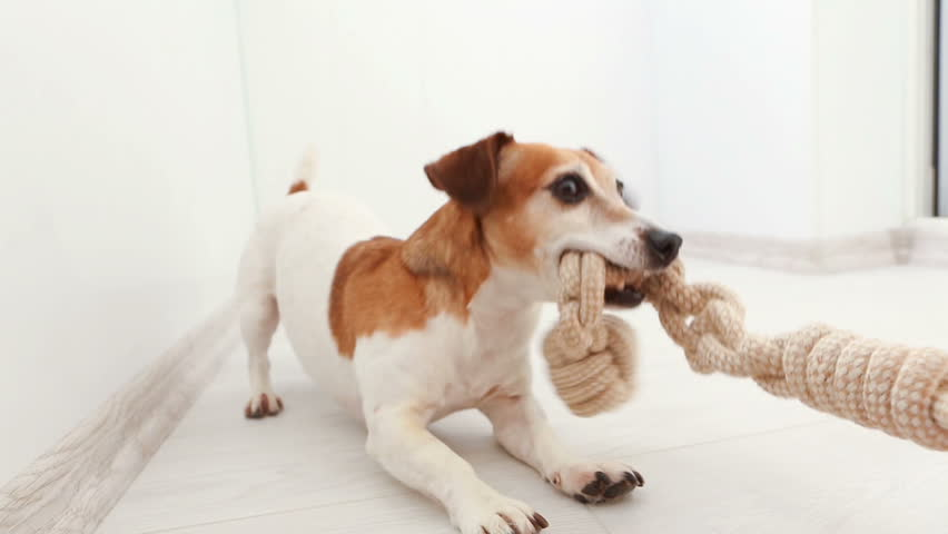 Adorable small dog snatches a toy from hand rope knots. An active pup Jack Russell terrier is a funny game. Video footage. Tug of War | Shutterstock HD Video #24605261