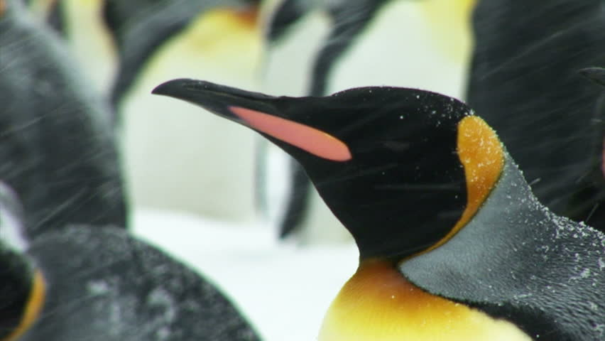 South Georgia and the South Sandwich Islands: king penguin staying in a snow storm.