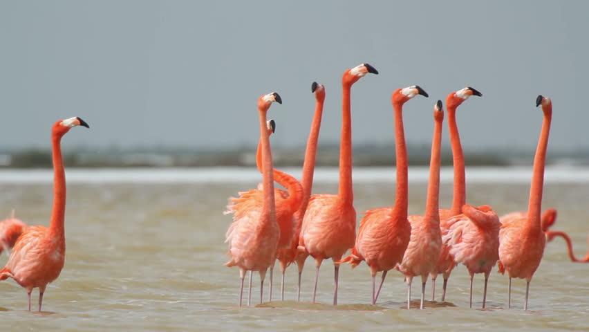 pink flamingos in the salt lagoons, ria largartos, mexico - HD stock video clip