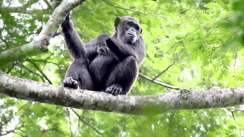 A WILD Endangered Chimpanzee (Pan troglodytes), also known as the Robust Chimpanzee, High Up in the Tree Canopy of the Kigale Forest, Uganda, Africa. Chimp Sits Awhile and then Walks Off. - HD stock footage clip