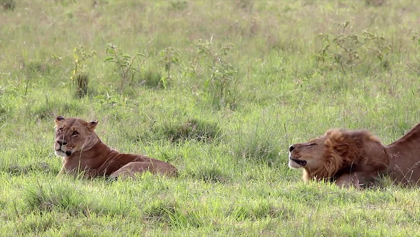 A Complete Mating Sequence Between Two Wild Lions in Lake Nakuru, Kenya, Africa. From the first stretch and yawn by the male to the female's flop of ecstasy--its all here! X-rated!