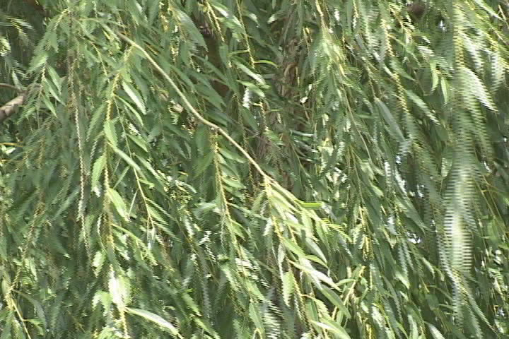 Closeup of a willow tree blowing in the wind - SD stock video clip
