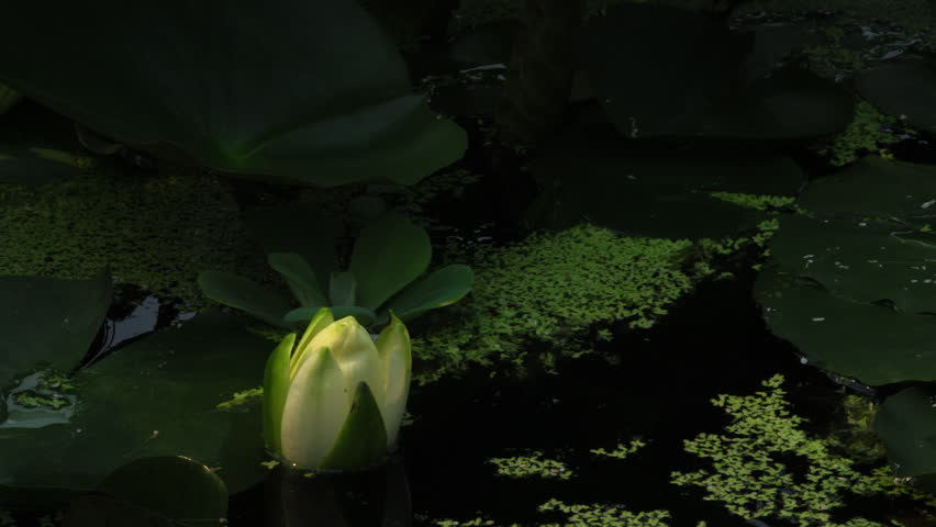 Time lapse opening of water lily flower  #2489363