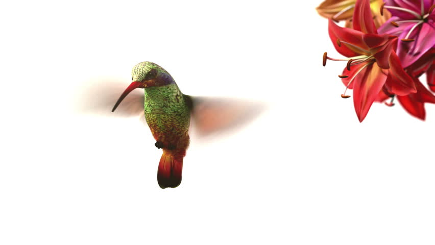 Humming bird, beautiful 3d animation | Shutterstock HD Video #2512025