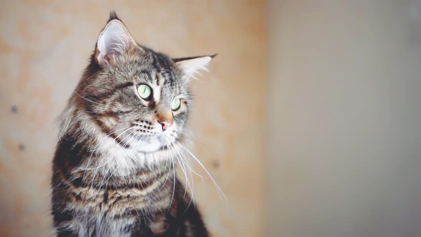 Portrait of beautiful Funny Maine Coon cat black tabby colored. 1920x1080. hd | Shutterstock HD Video #25132625