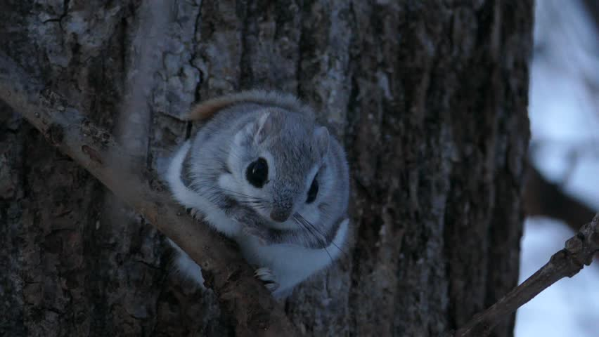 The big eyes and cute face momonga that came out of the nest hole. _? / Photographed in Japan's Hokkaido on March 25, 2017 / Popular small animals living in the northern part of Japan.   Shutterstock HD Video #25189667