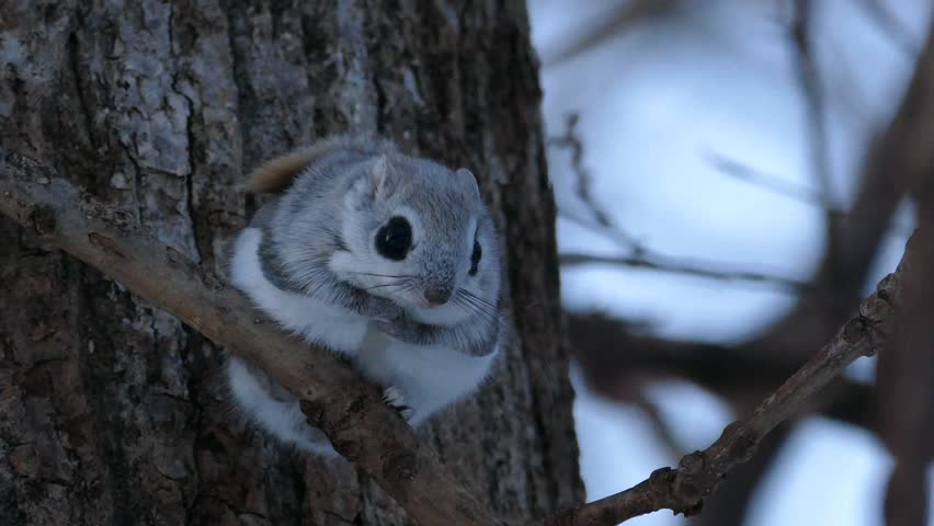 The big eyes and cute face momonga that came out of the nest hole.  / Photographed in Japan's Hokkaido on March 25, 2017 / Popular small animals living in the northern part of Japan.   Shutterstock HD Video #25208954